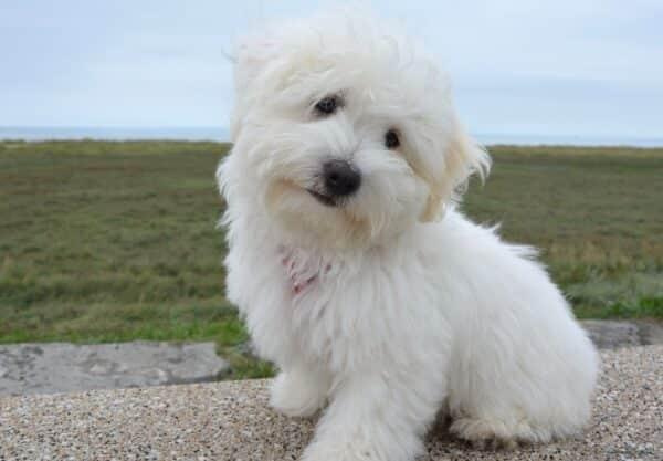Coton de Tuléar : Prix de ce chien, Caractère, Santé, Alimentation