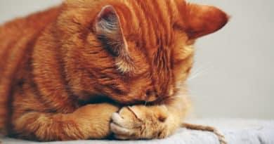 Comment éloigner les chats de votre maison grâce à un répulsif naturel ?