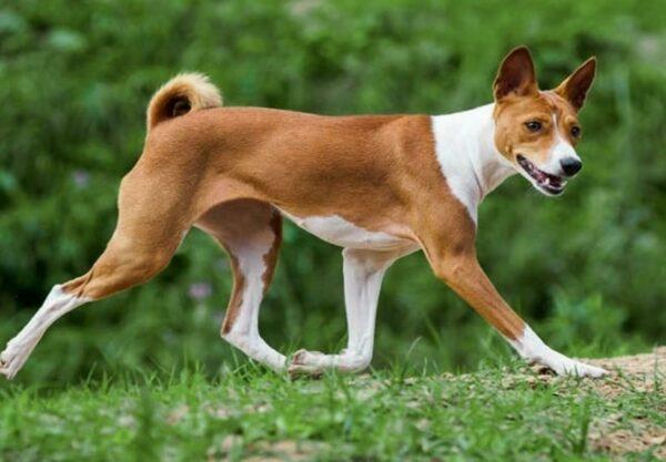 Basenji : Prix de ce chien, Caractère, Santé, Alimentation