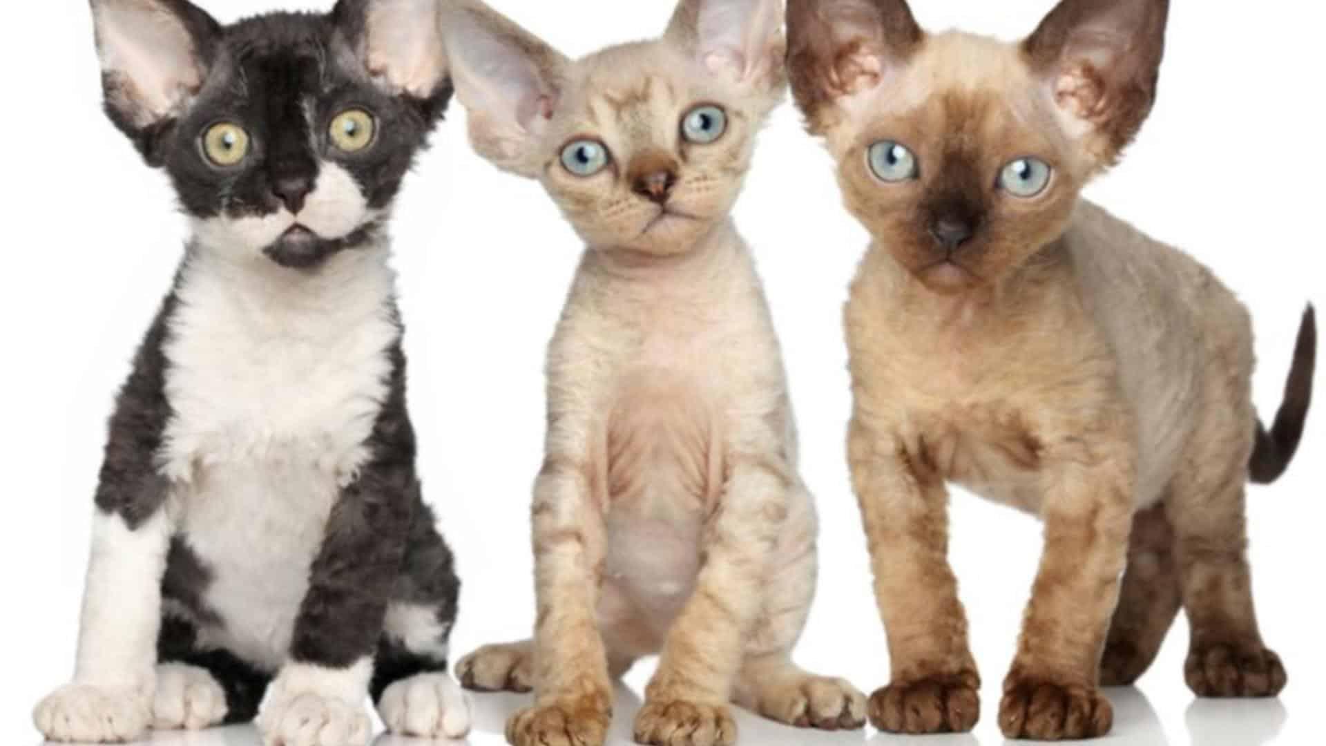 Devon Rex : Prix de ce chat, Comportement & Caractère, Santé