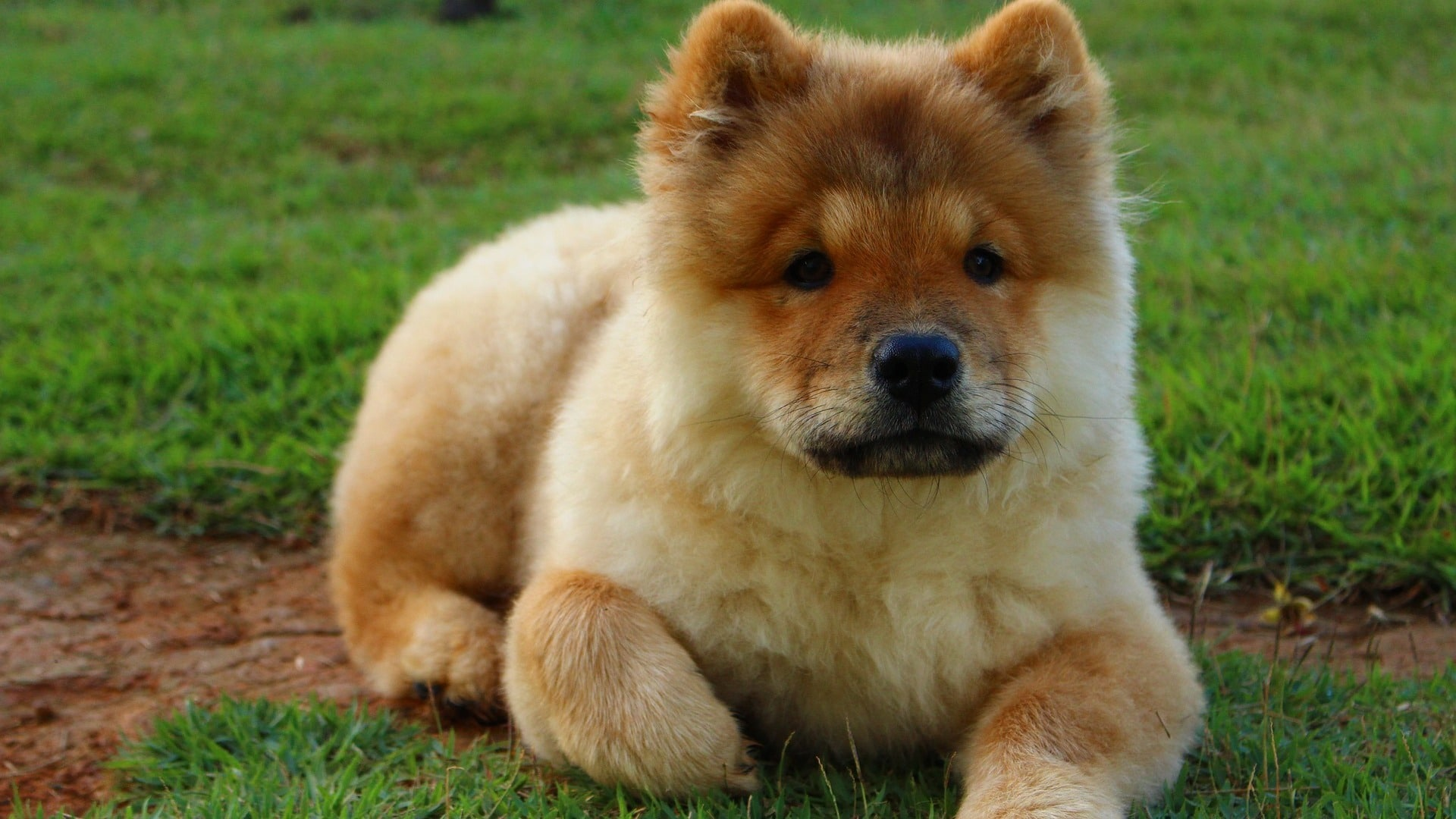 adopter chien chow chow