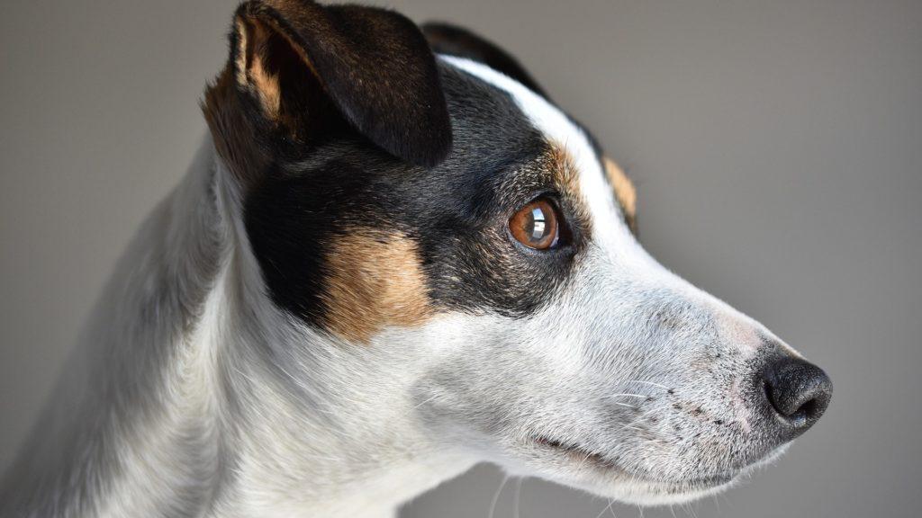 assurance chien de chasse jack russel