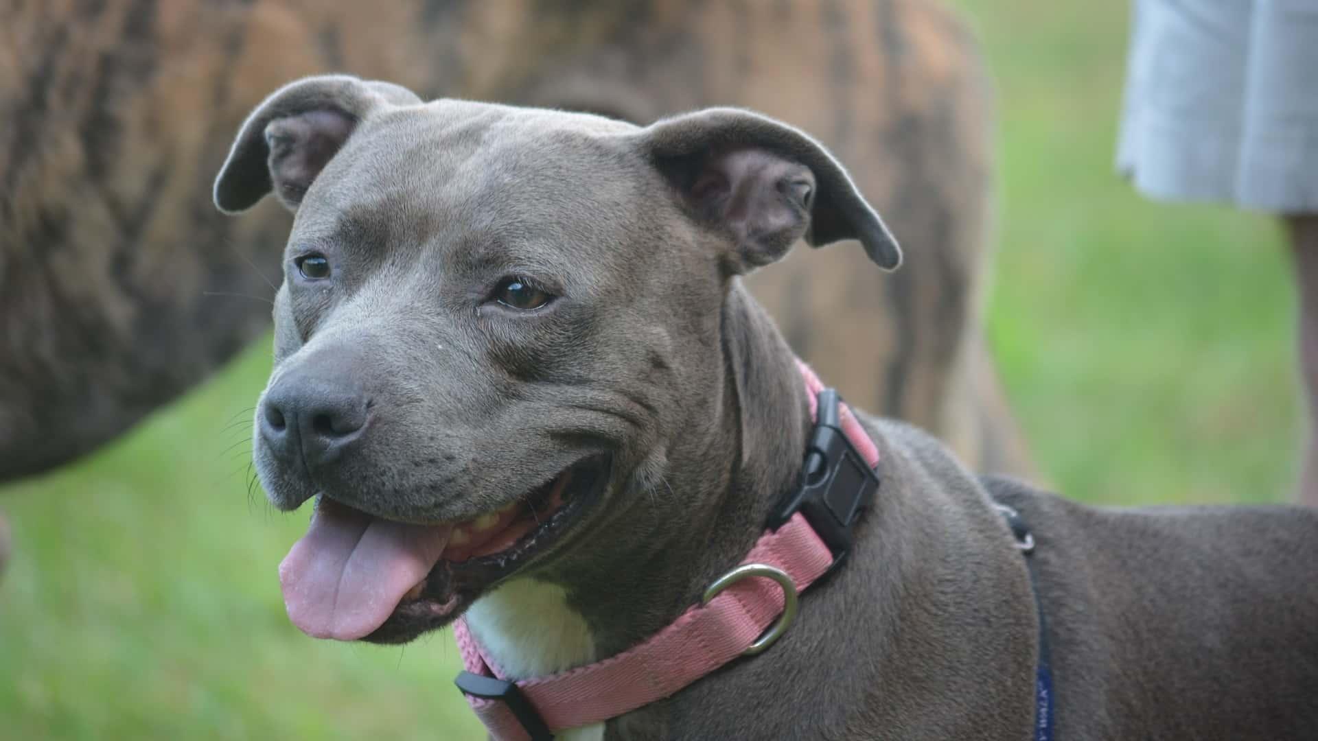 Staffordshire Bull Terrier : Prix de ce chien, Caractère, Santé, Alimentation