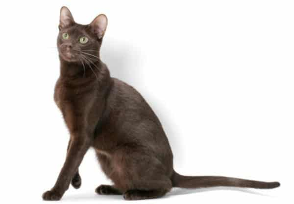 Havana Brown : Prix de ce chat, Comportement & Caractère, Santé
