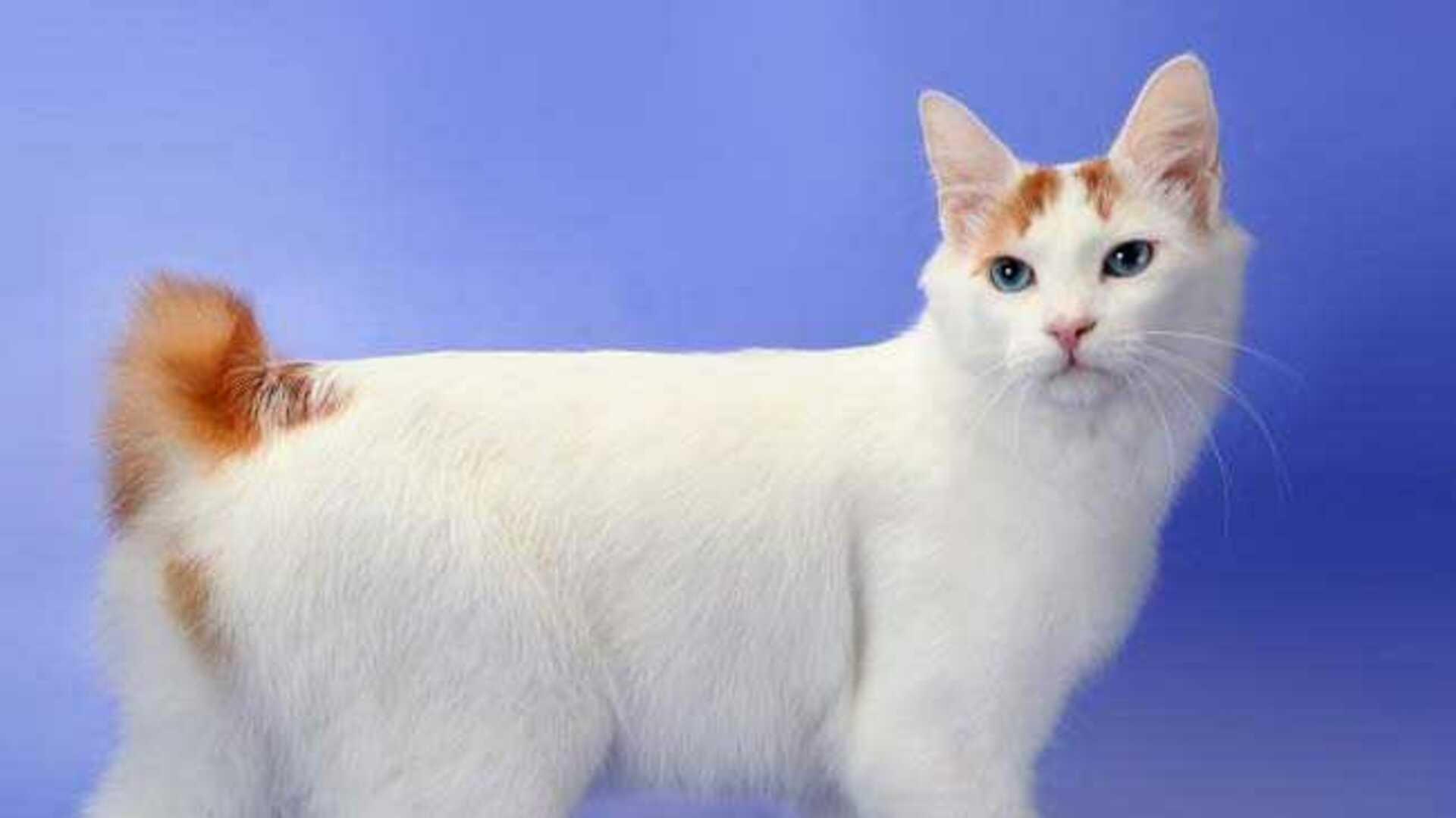 Japanese Bobtail : Prix de ce chat, Comportement & Santé