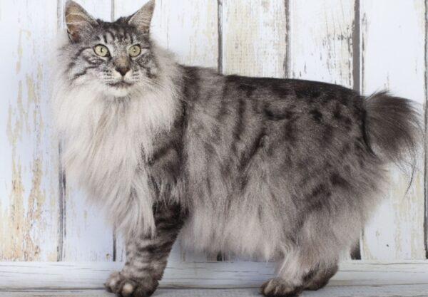 Kurilian Bobtail : Prix de ce chat, Comportement & Caractère, Santé