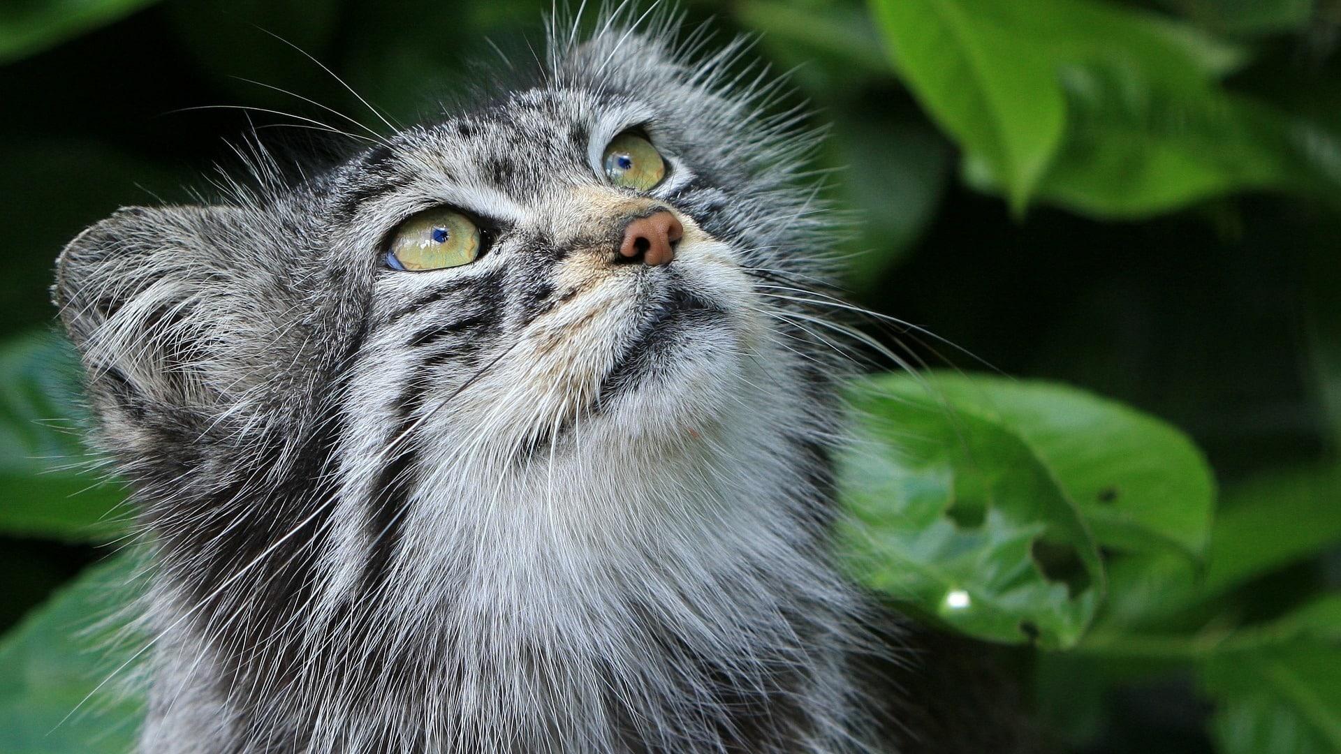 chat de pallas sauvage