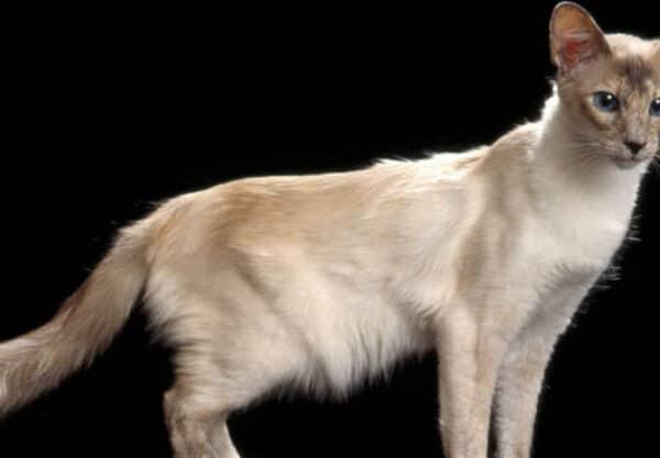 Javanais : Prix de ce chat, Comportement & Caractère, Santé
