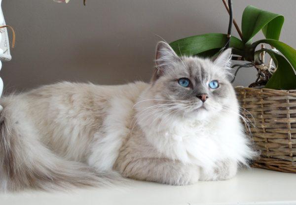 Ragdoll : Prix de ce chat, Comportement & Caractère, Santé