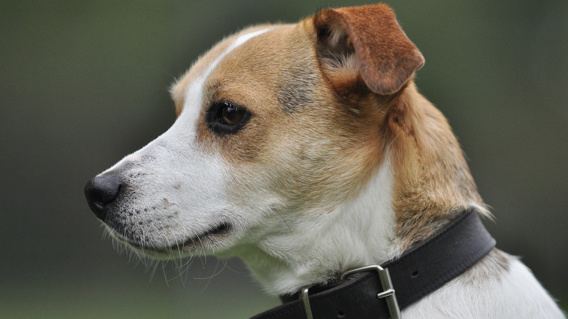 chien Jack Russell Terrier