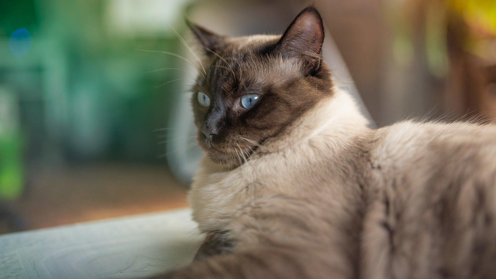 comportement chat ragdoll