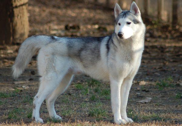 Husky de Sibérie : Prix de ce chien, Caractère, Santé, Alimentation