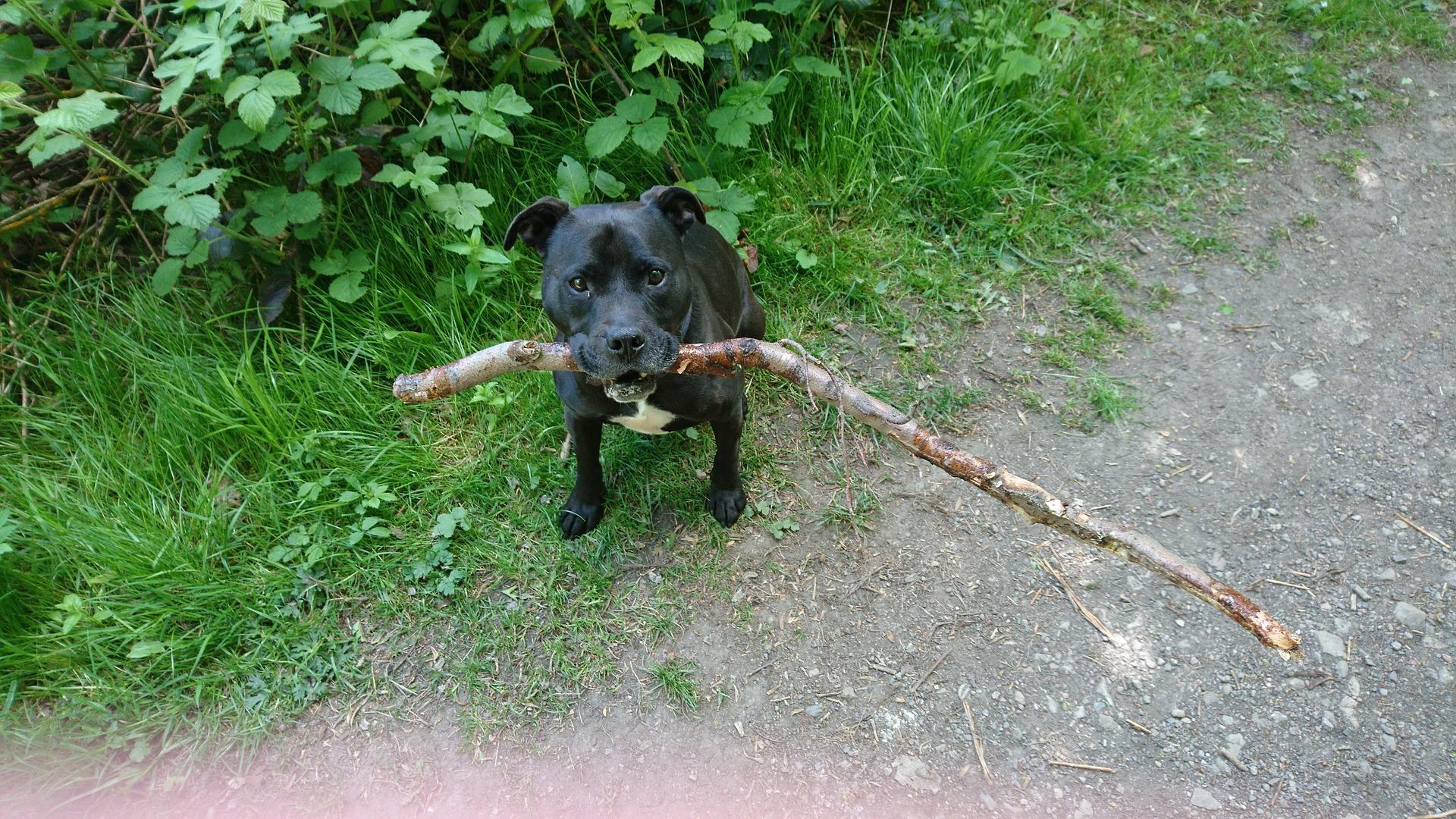 jouer avec Chien Staffordshire Bull Terrier