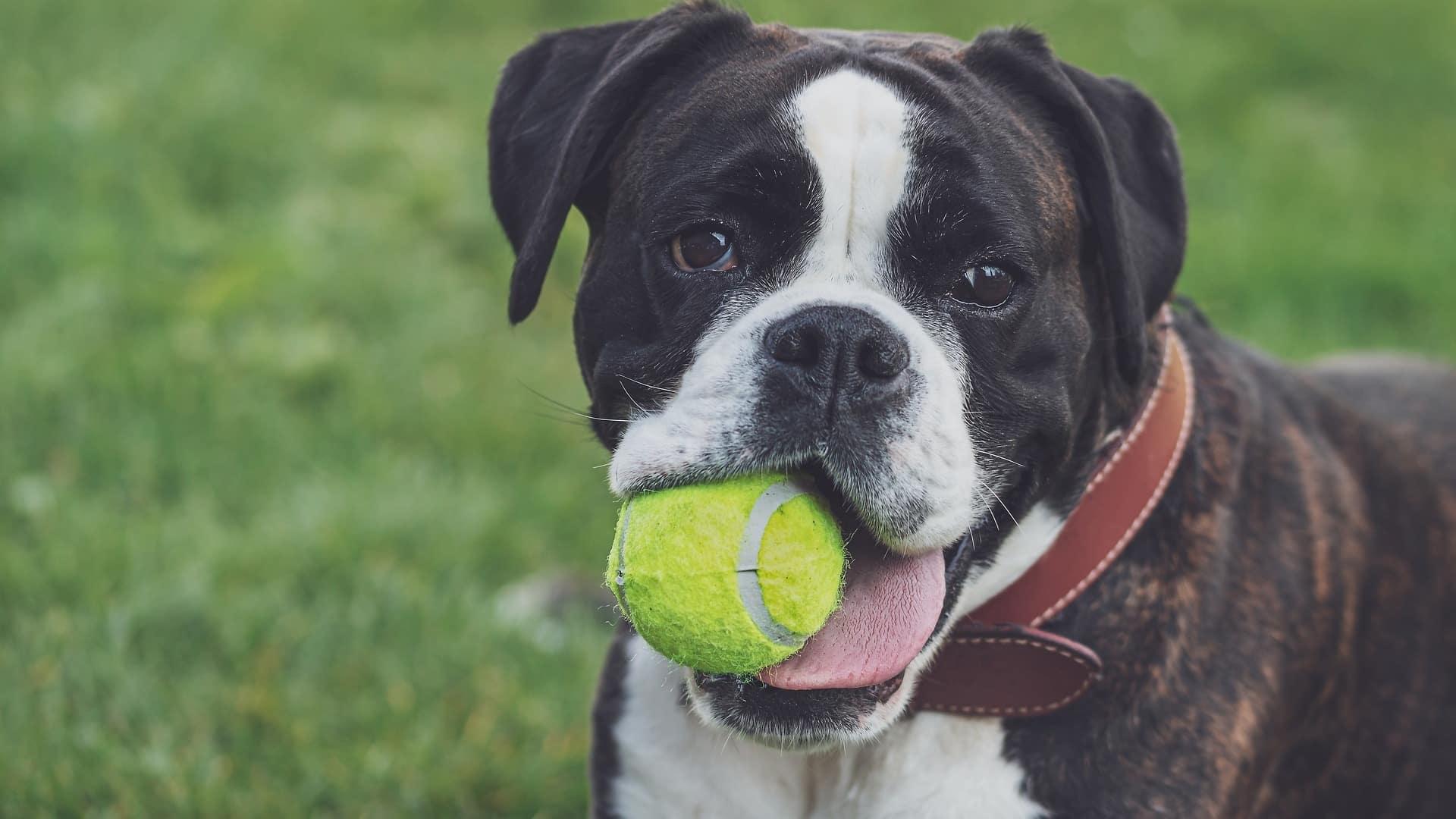 jouet chien boxer