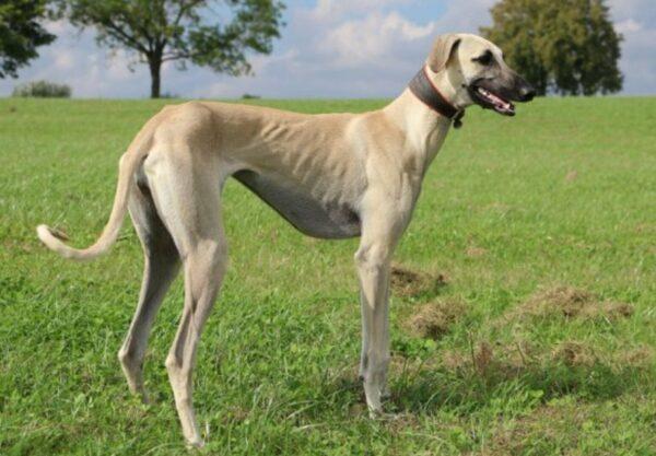 Sloughi : Prix de ce chien, Caractère, Santé, Alimentation