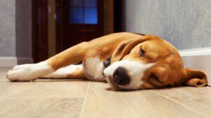 épilepsie chez le chien