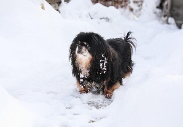 Épagneul tibétain : Prix de ce chien, Caractère, Santé, Alimentation
