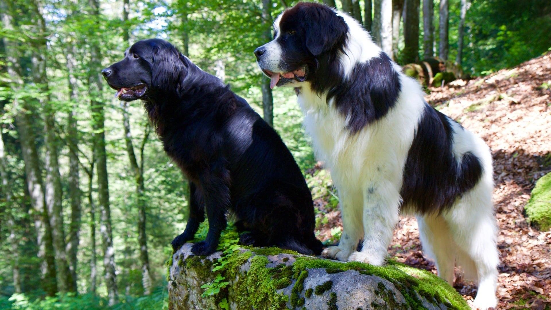 Landseer : Prix de ce chien, Caractère, Santé, Alimentation