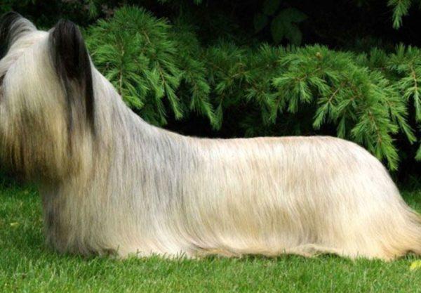 Skye terrier : Prix de ce chien, Caractère, Santé, Alimentation