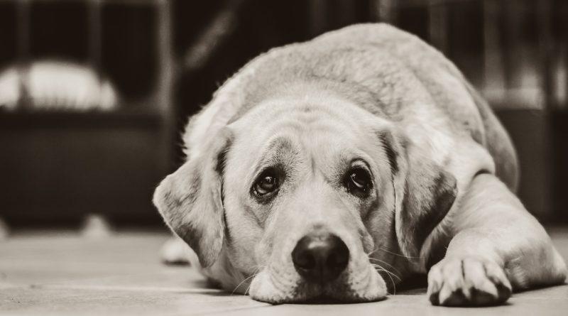 Stress chez les chiens