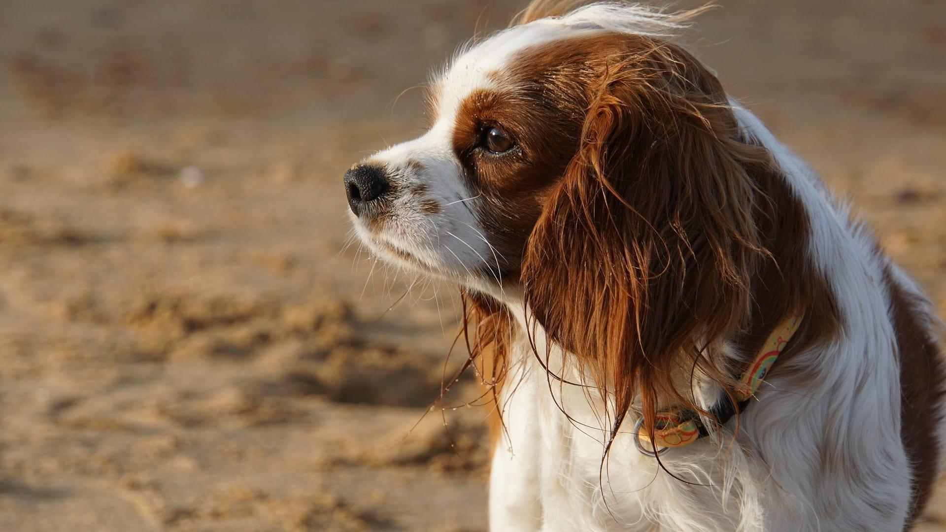Épagneul français : Prix de ce chien, Caractère, Santé, Alimentation