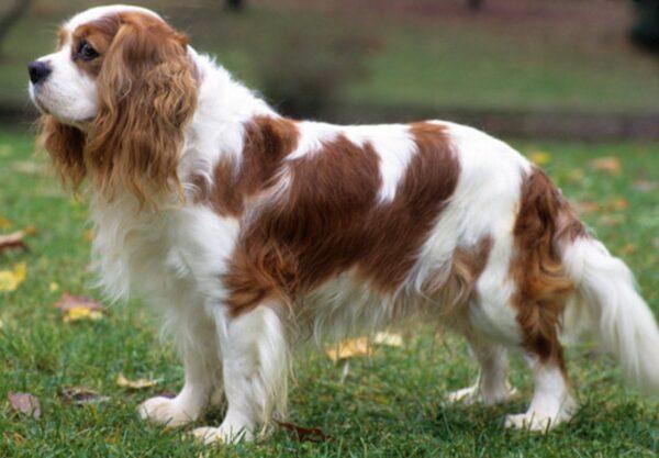 adopter Cavalier King Charles Spaniel