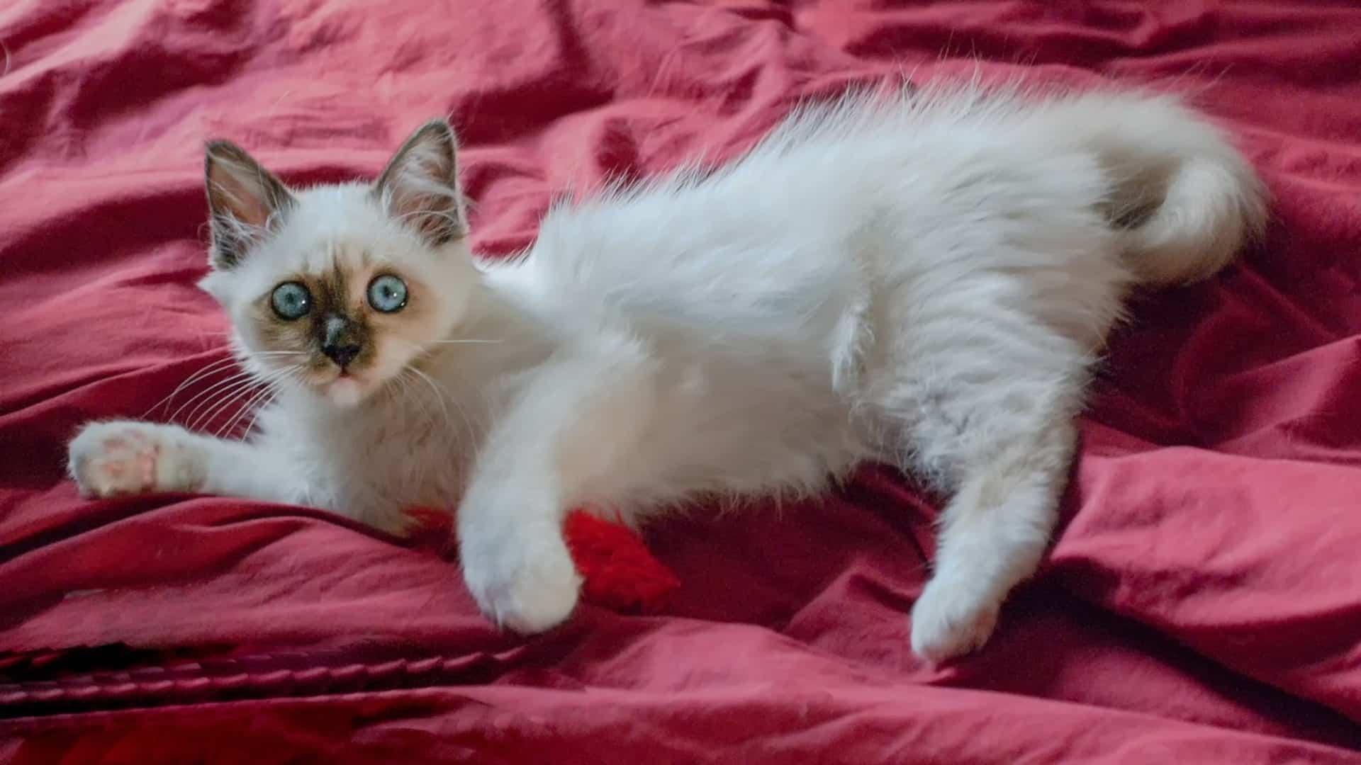 Sacré de Birmanie : Prix de ce chat, Comportement & Caractère, Santé
