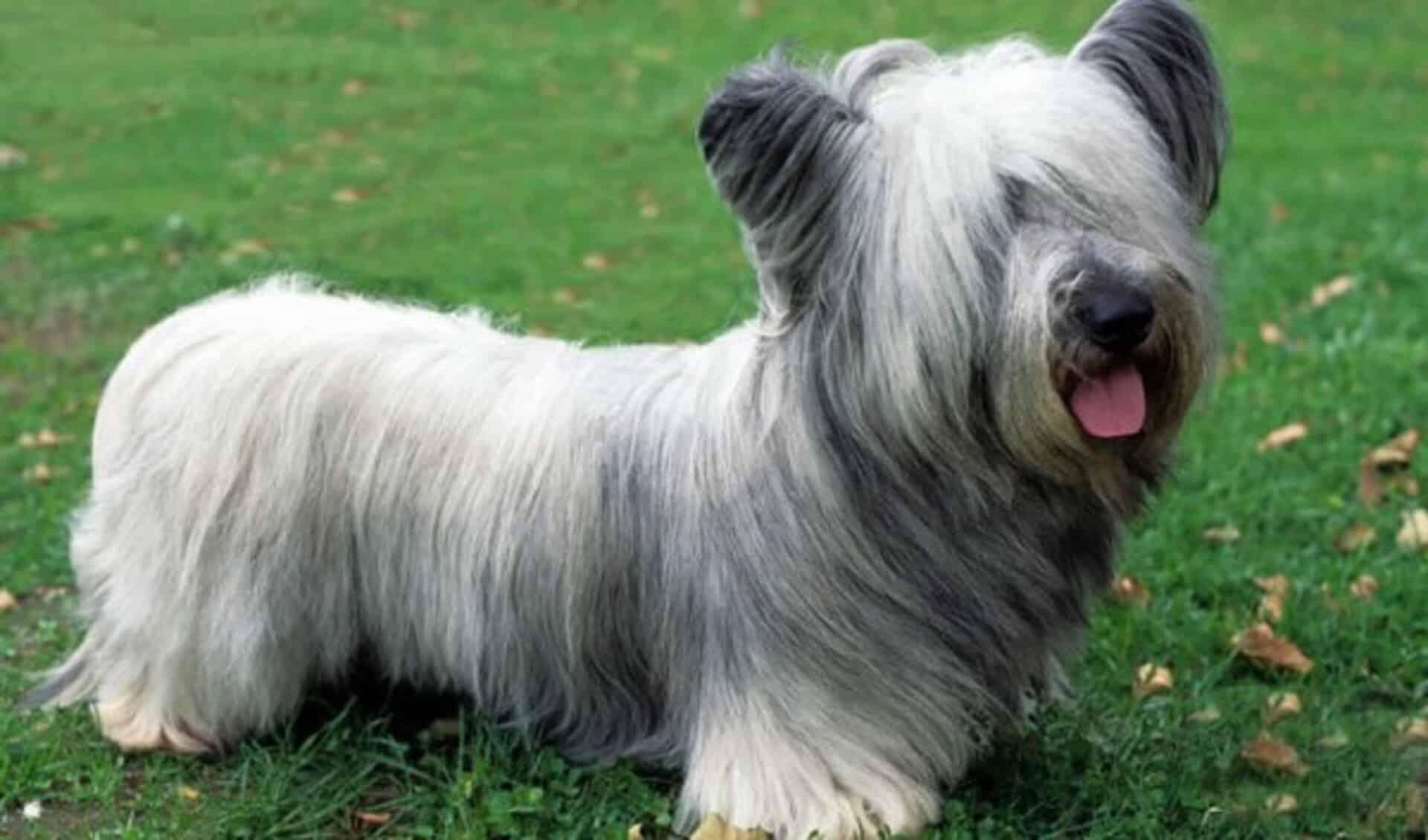 adopter Skye terrier