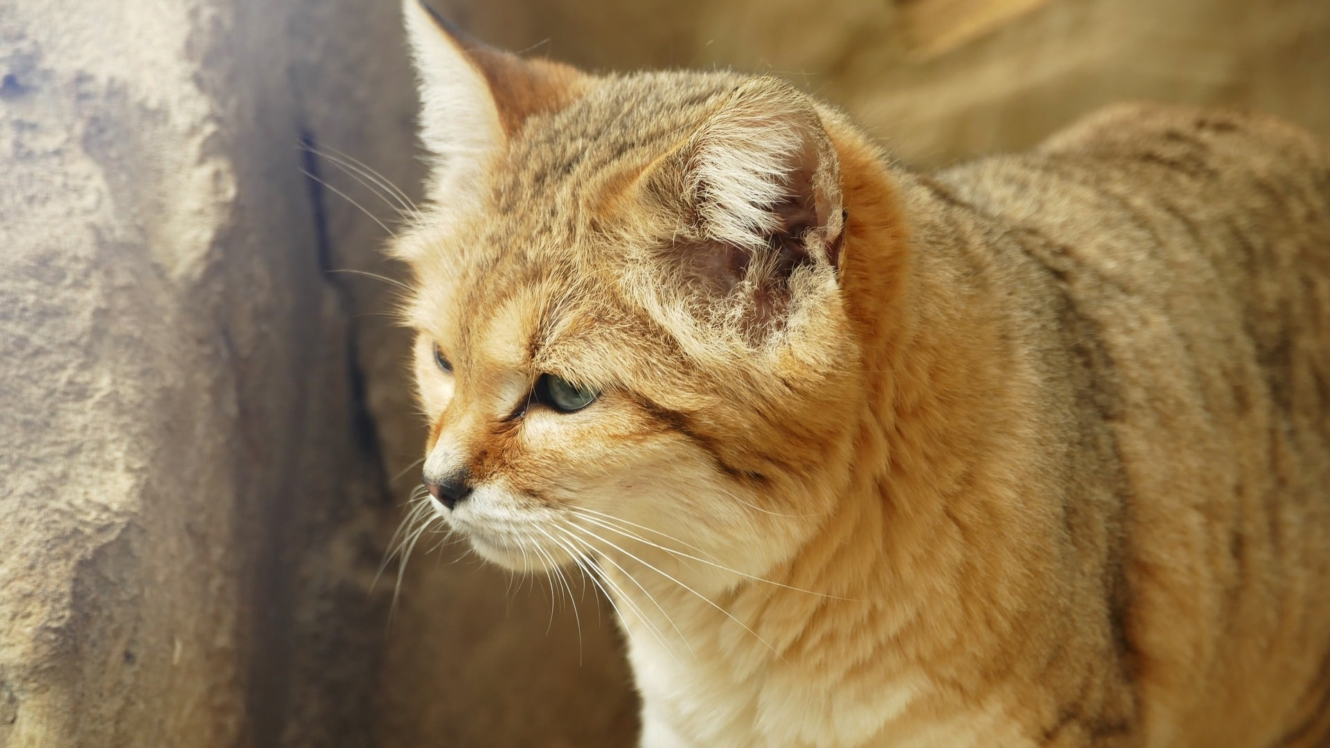 adopter chat des sables
