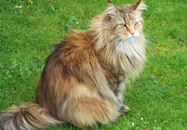 Chat Sibérien : Prix de ce chat, Comportement & Caractère, Santé