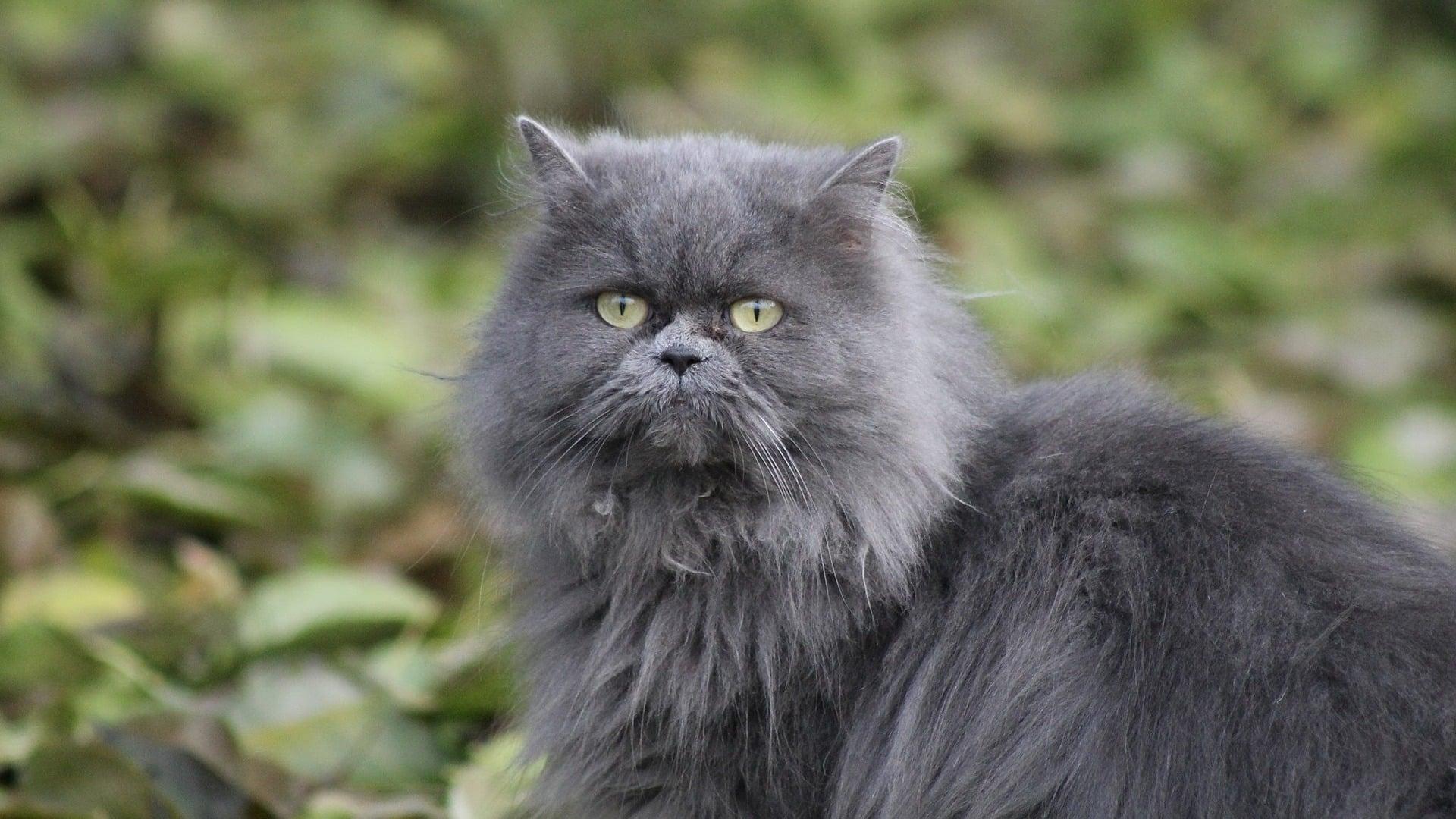 Persan : Prix de ce chat, Comportement & Caractère, Santé