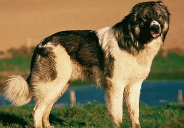 Berger du Caucase : Prix de ce chien, Caractère, Santé, Alimentation