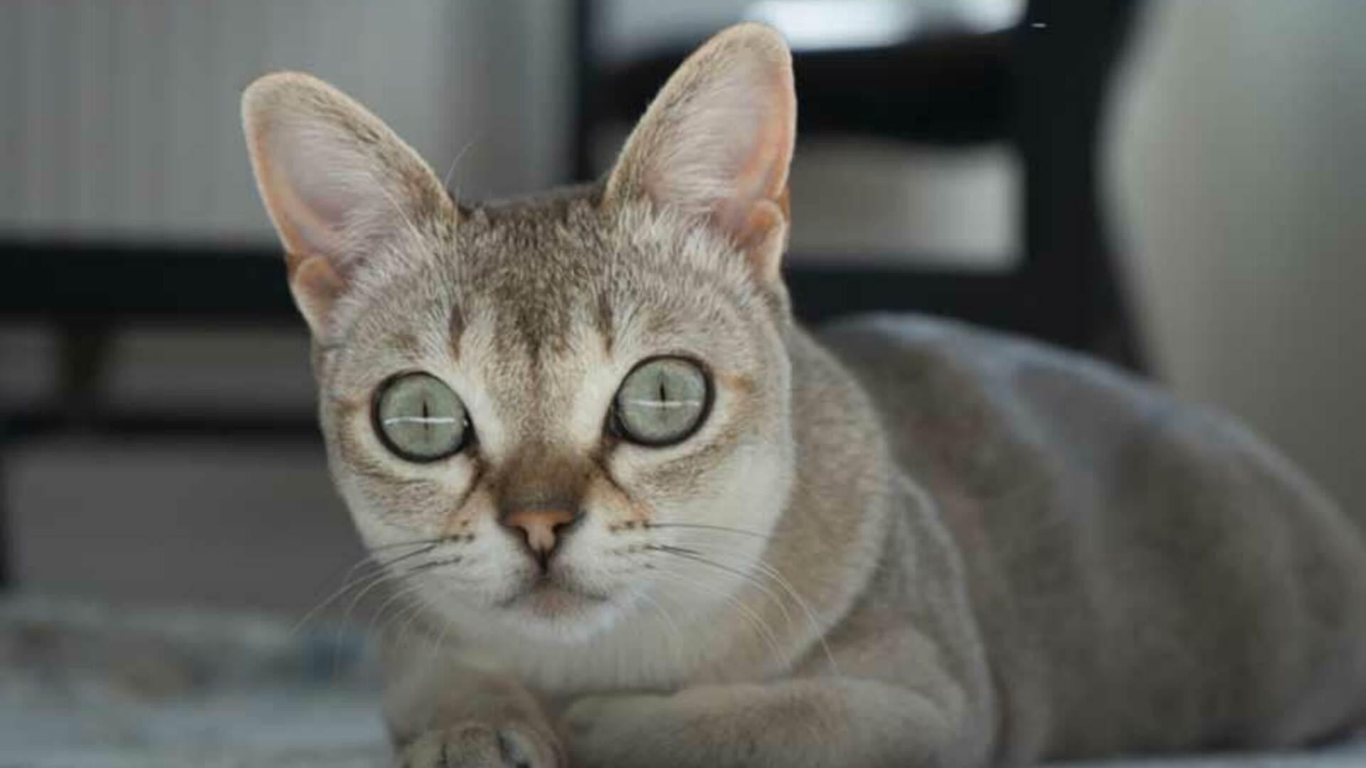 chat Singapura en appartement