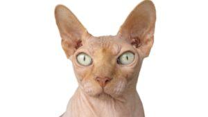 chat qui ne perd pas de poils