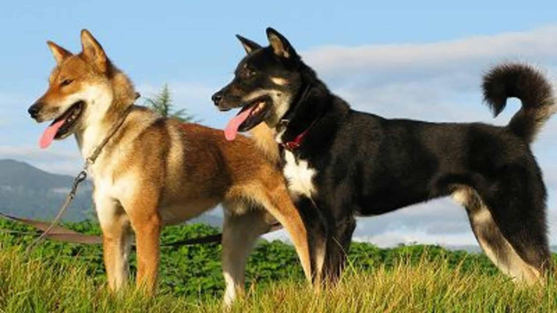 chiens shikoku