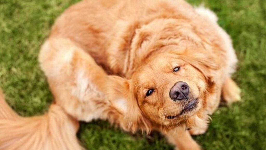 chiens infestés par des puces