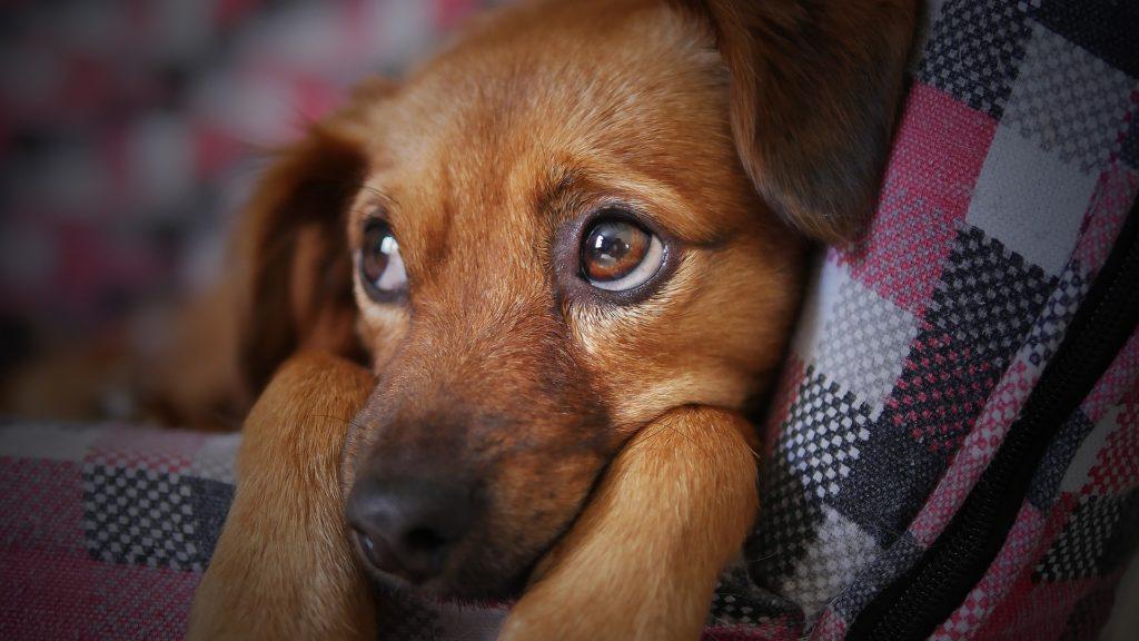 conséquences du stress chez les chiens