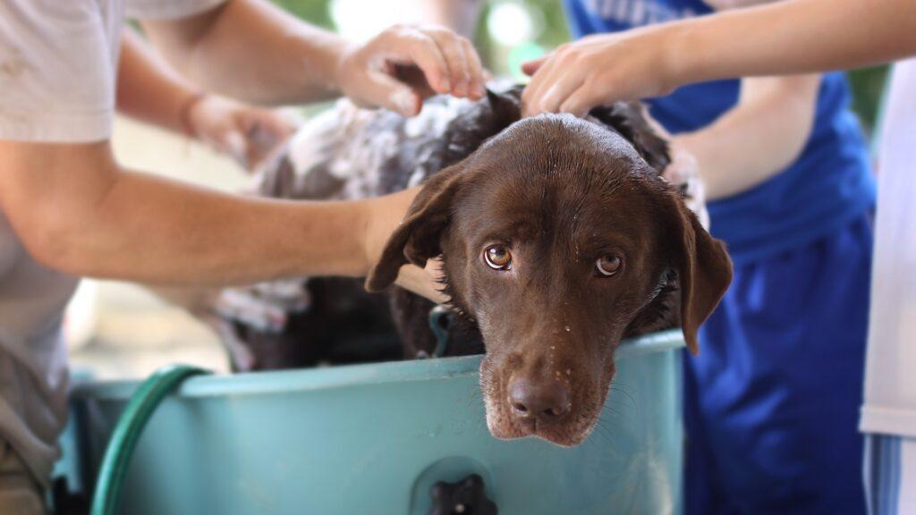 laver chiens à puces