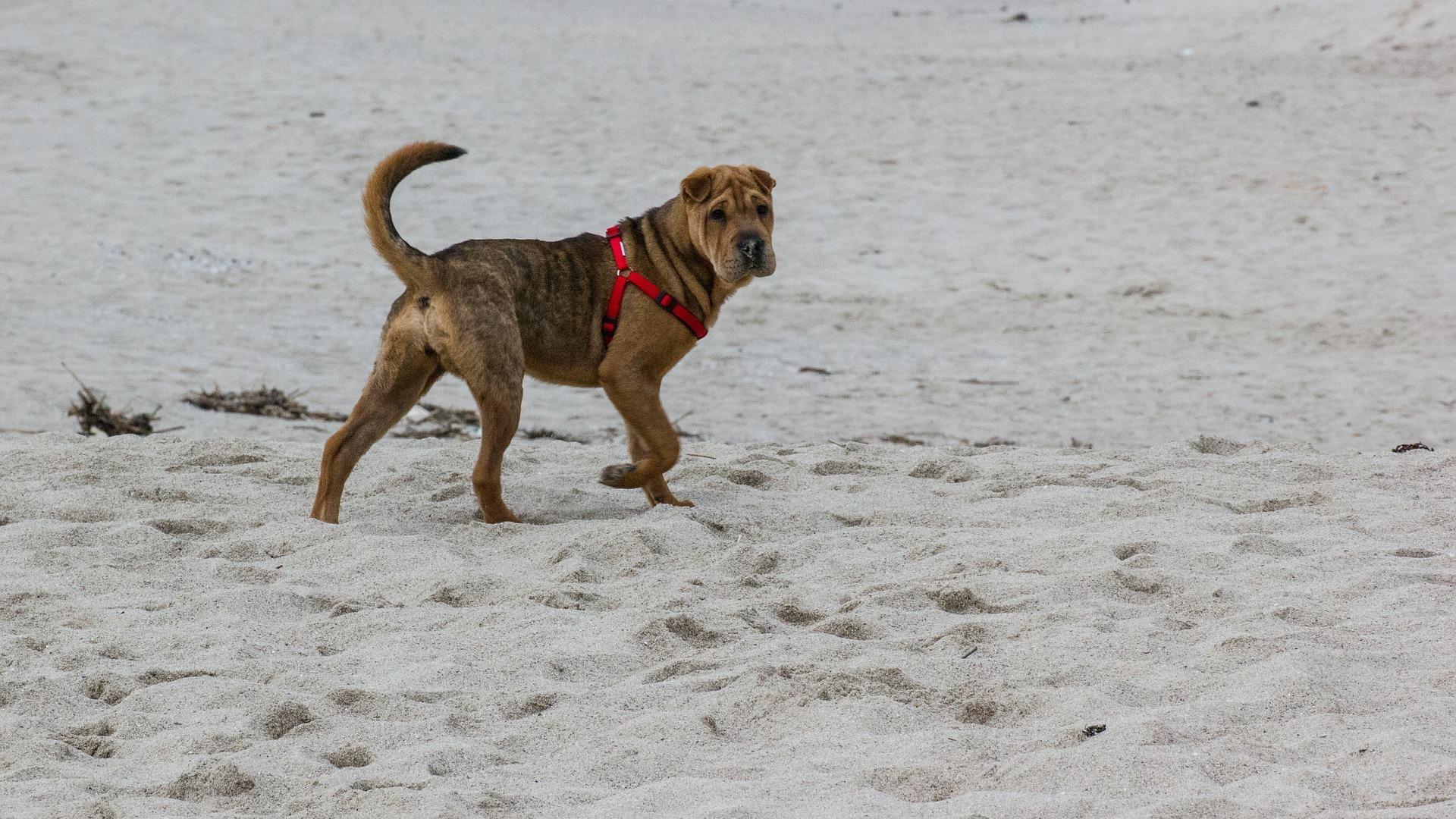 Shar-Pei : Prix de ce chien, Caractère, Santé, Alimentation