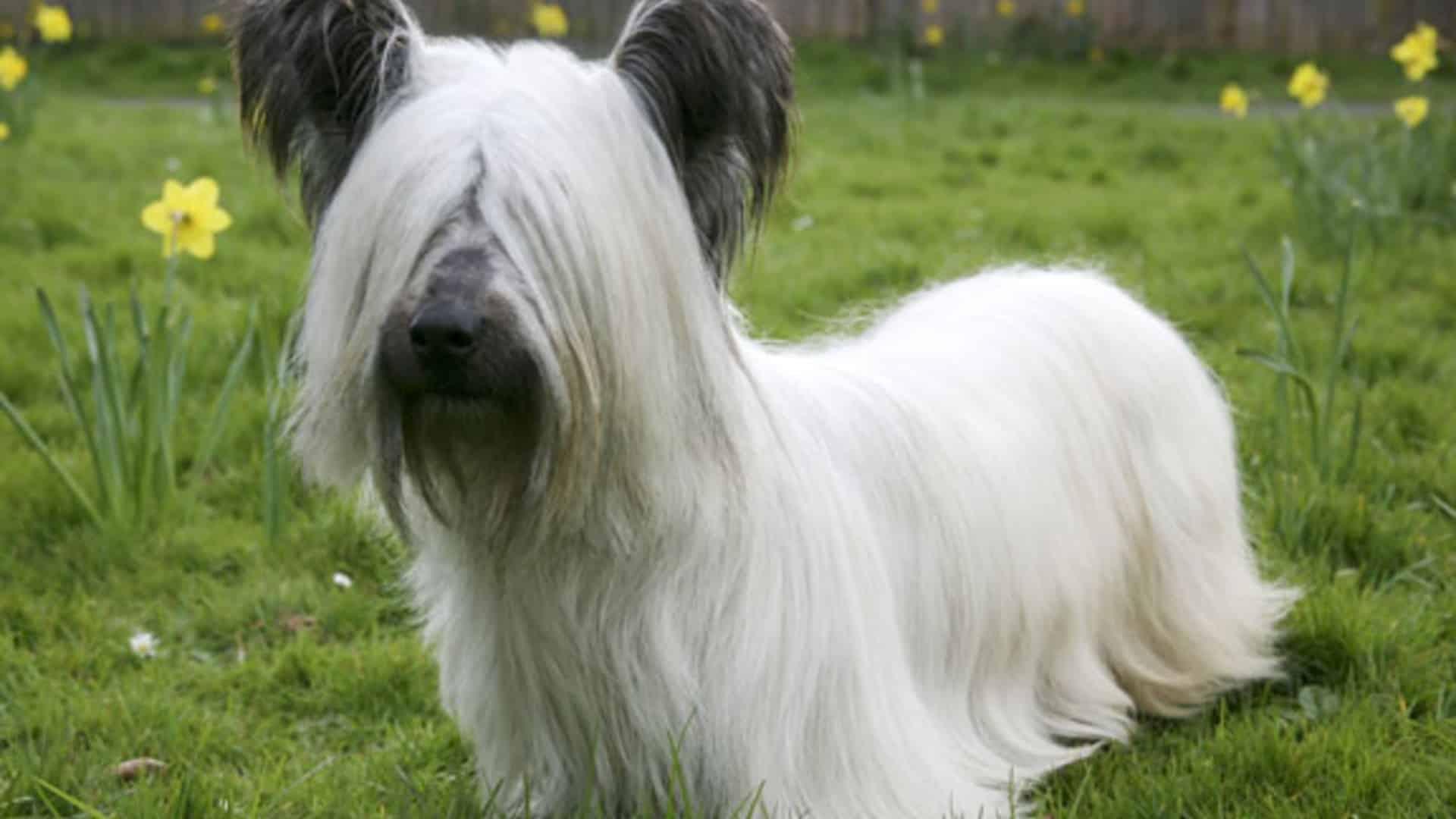 pelage Skye terrier
