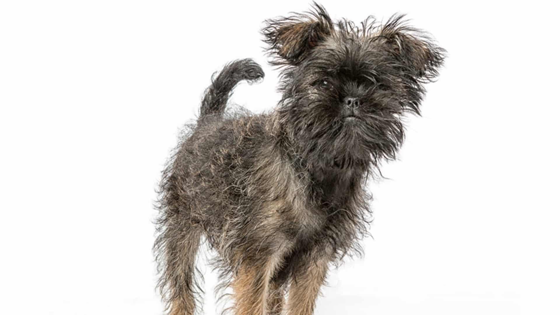 Affenpinscher : Prix de ce chien, Caractère, Santé, Alimentation