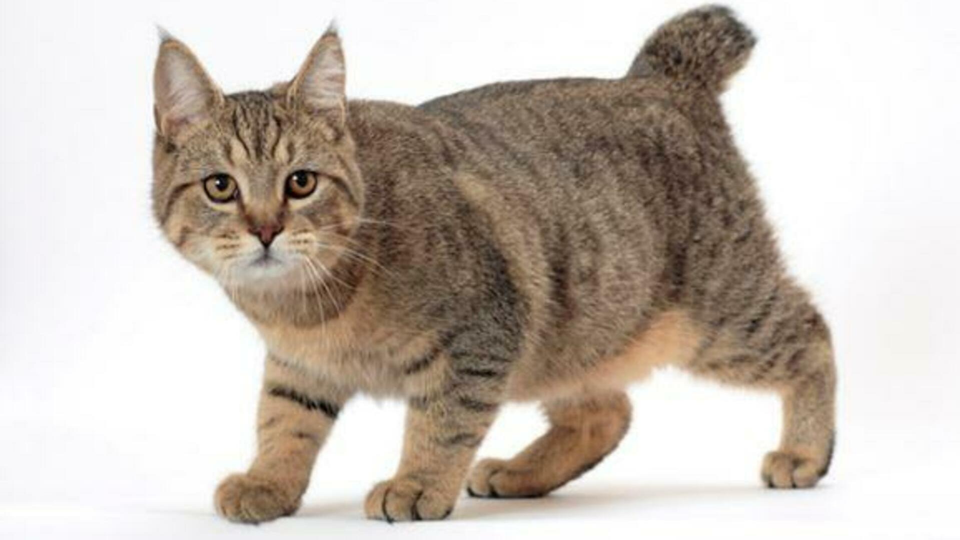 Pixie-Bob : Prix de ce chat, Comportement & Caractère, Santé