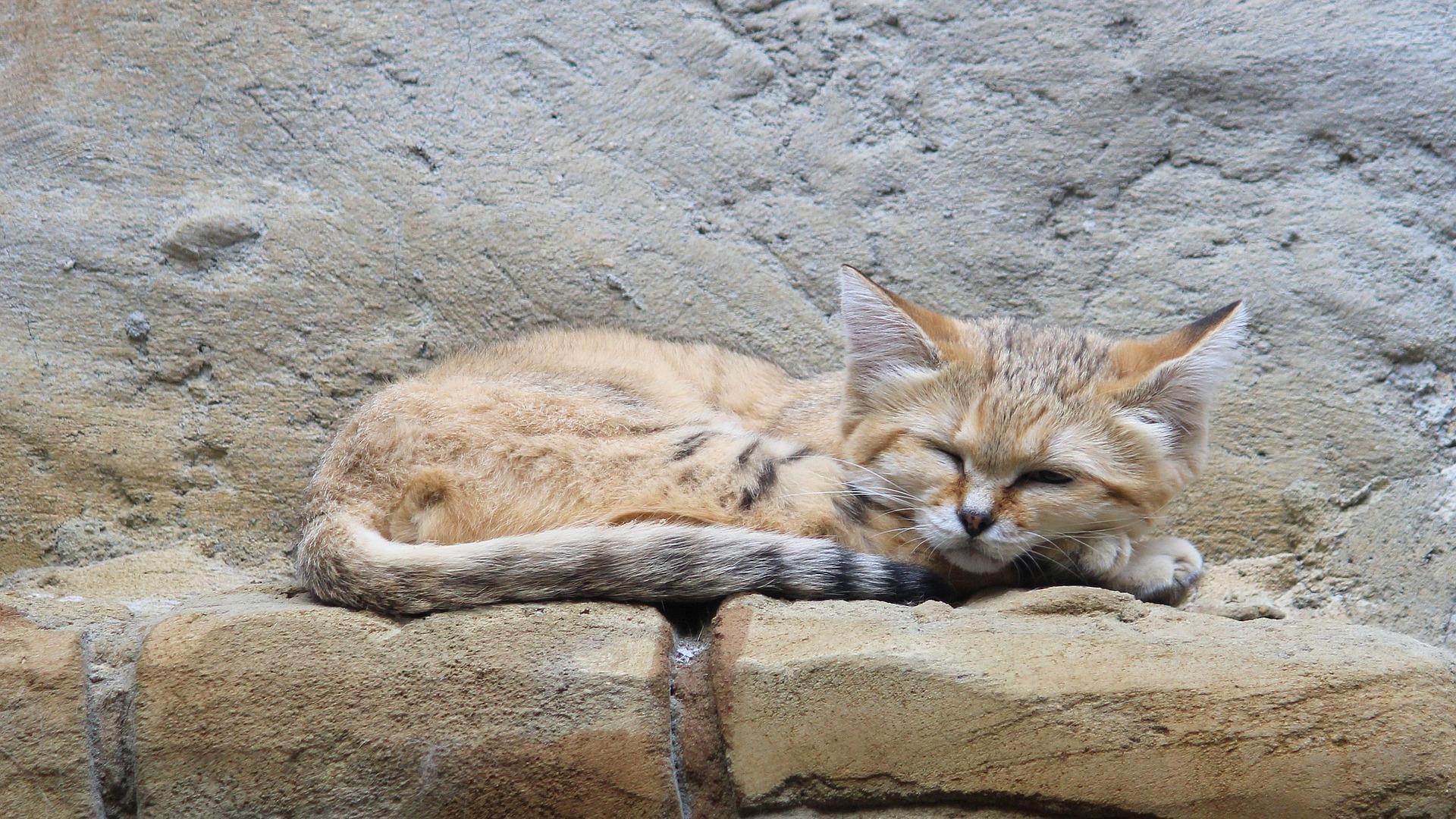 santé chat des sables