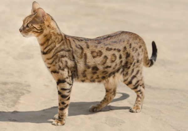 Savannah : Prix de ce chat, Comportement & Caractère, Santé