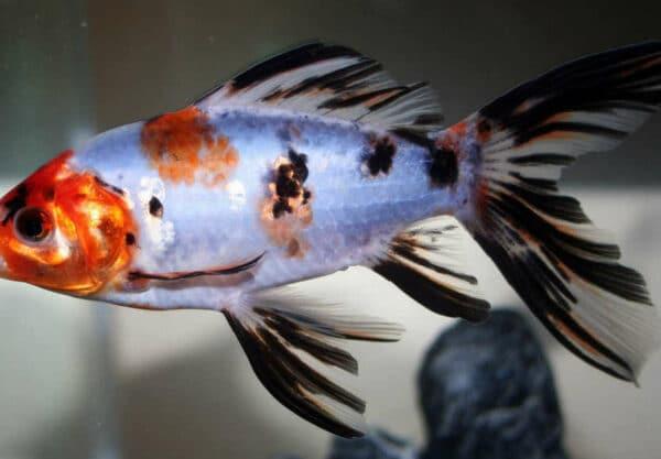 Shubunkin – Prix de ce poisson rouge et durée de vie