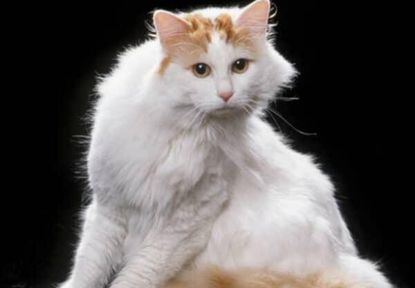 Turc de Van : Prix de ce chat, Comportement & Caractère, Santé