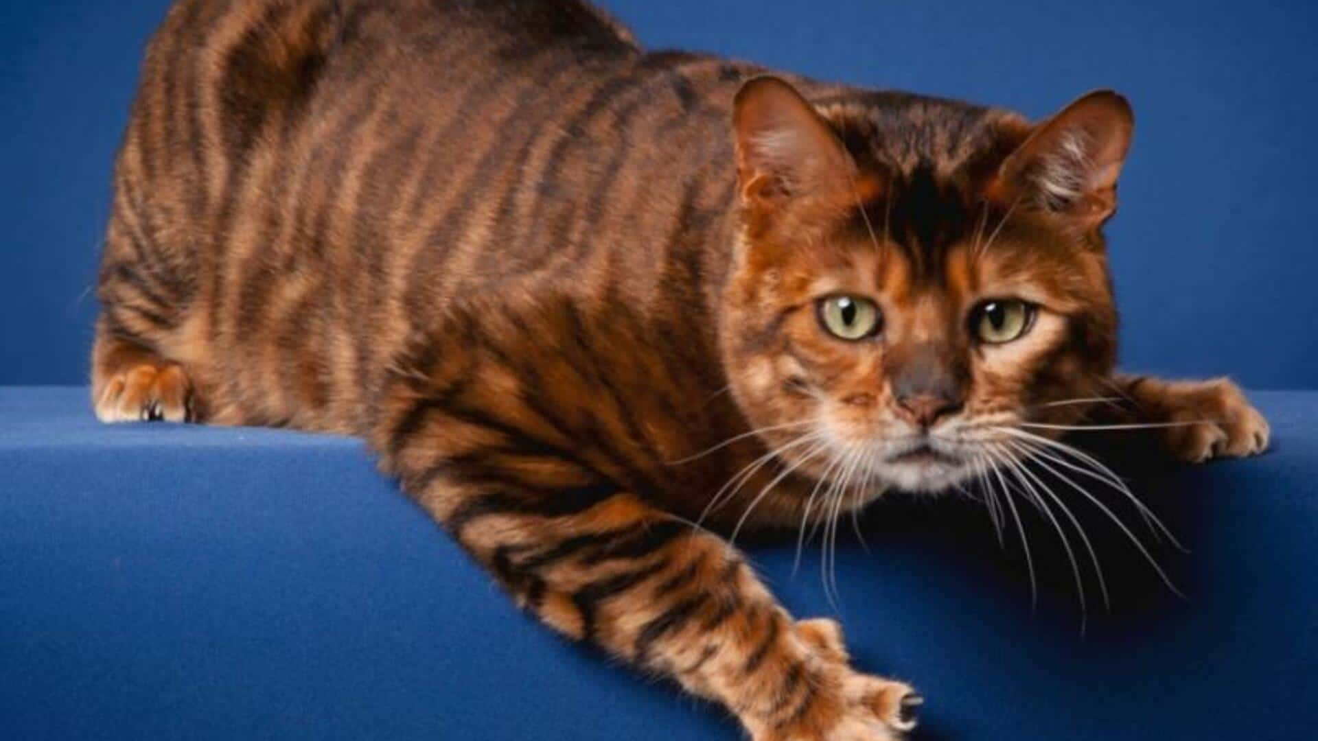 Toyger : Prix de ce chat, Comportement & Caractère, Santé
