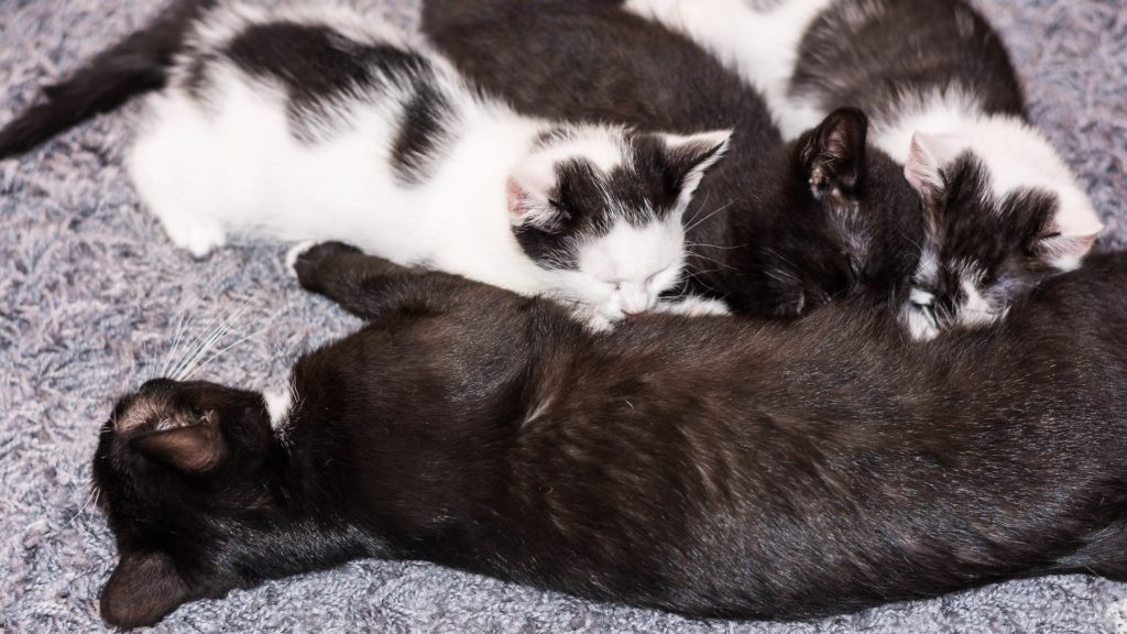 alimentation chaton après sevrage