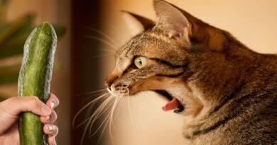 les chats ont peur des concombres