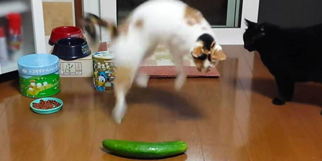 pourquoi les chats ont peur des concombres